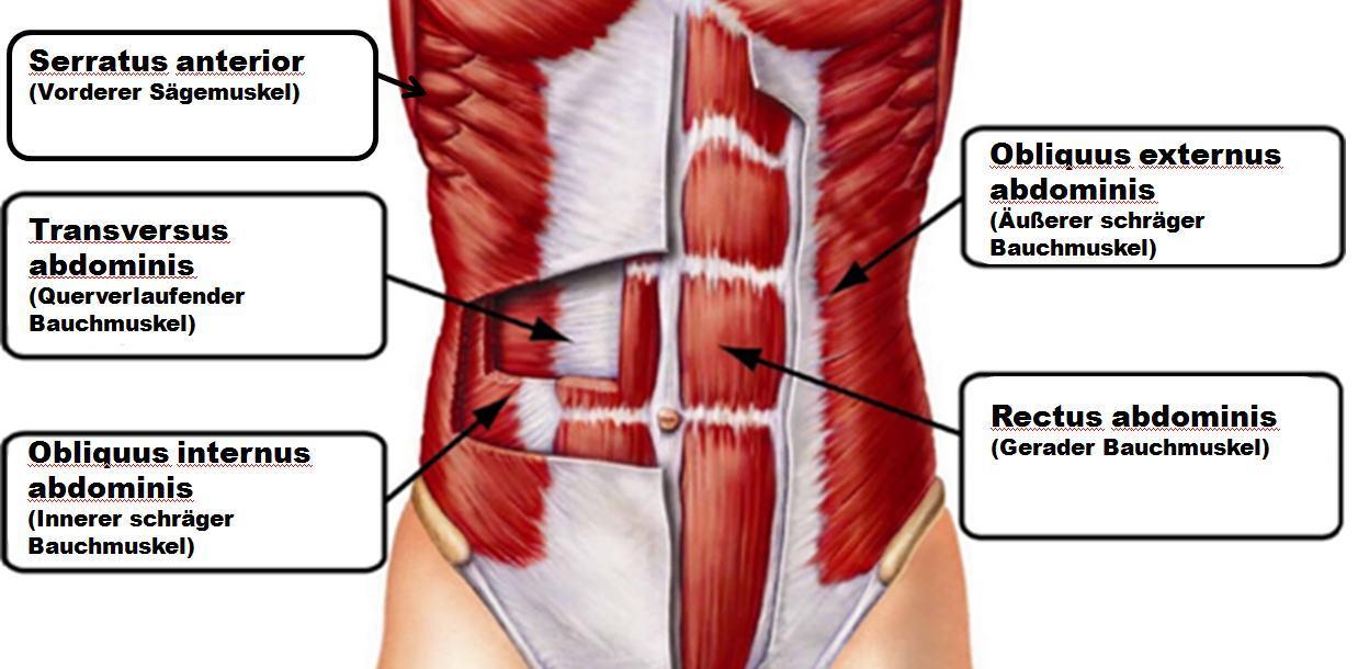 Bauchmuskeln Namen