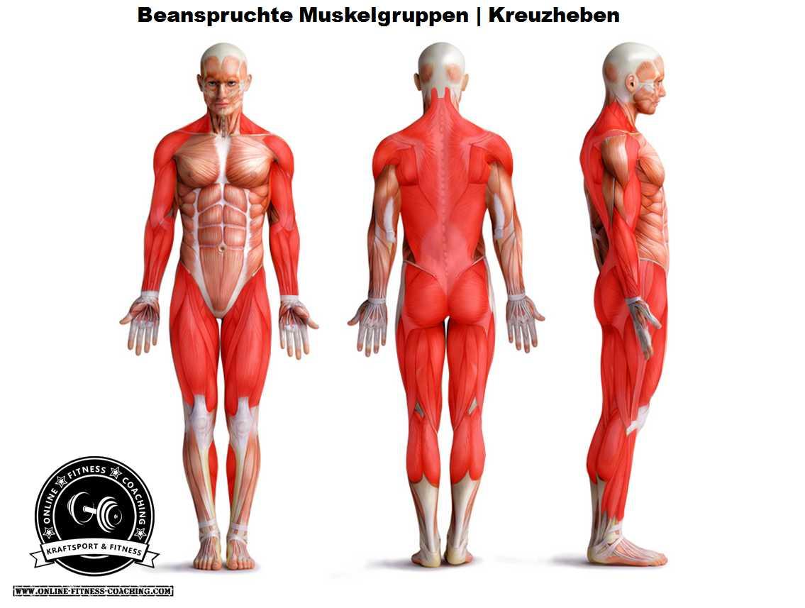 Kreuzheben beanspruchte Muskelgruppen