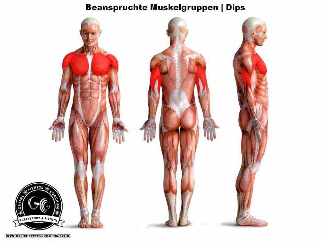 Dips Muskelgruppen