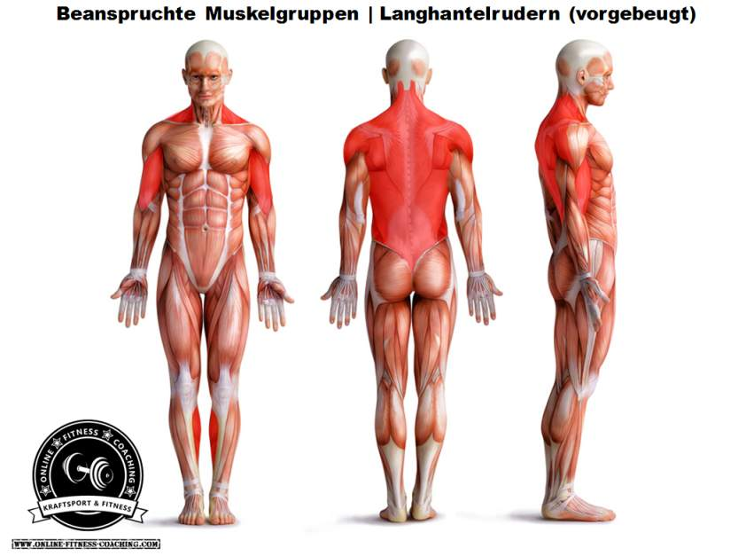 Langhantelrudern Muskelgruppen