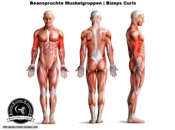 Muskelgruppen Bizeps